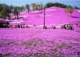 美!北海道大空町的芝樱公园。园内的芝樱最佳观赏期。
